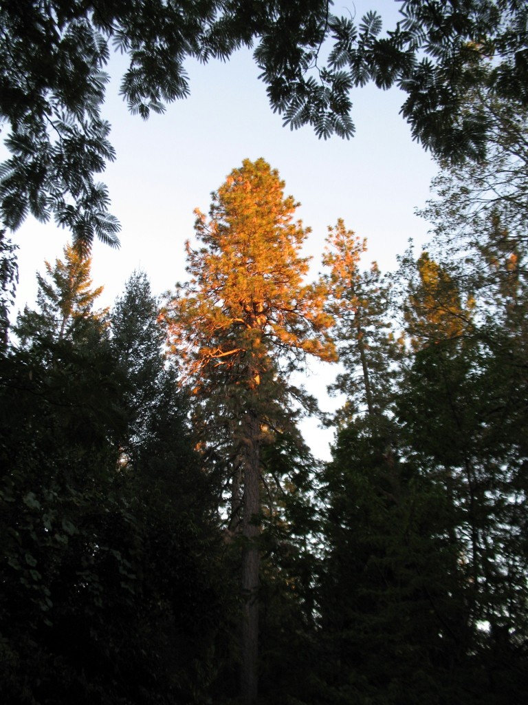 "I call this 100 foot Ponderosa Pine the ""guardian"" of Asiloverde"