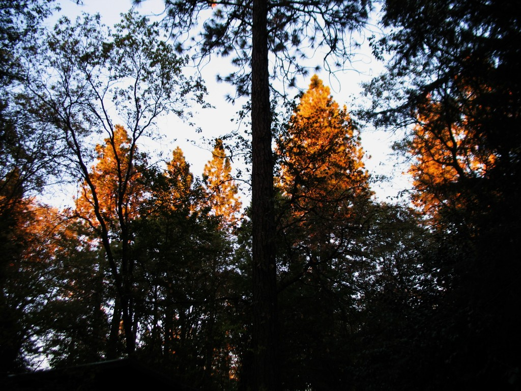 the neighboring pines catching the last rays of sun....